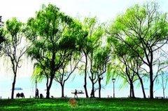 栽在城市的树