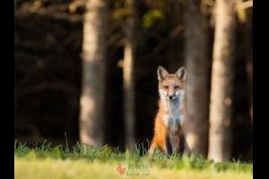 """一只狐狸""""创造""""的规则"""