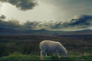 向一只羊说声对不起