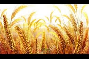 麦子的挽歌