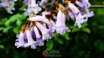 清明时节泡桐花