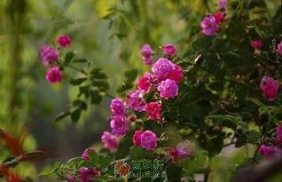 墙角处蔷薇花开