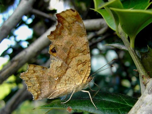 像枯叶蝶那样自由飞舞