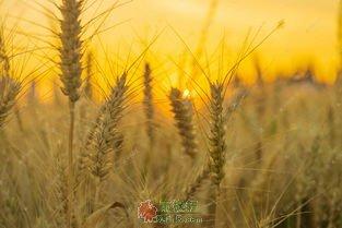 给麦子一点时间