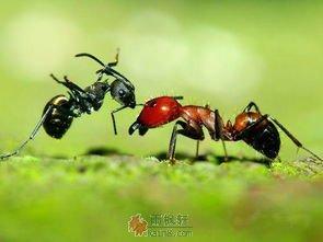 懒蚂蚁效应