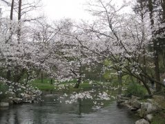 太子湾赏樱花